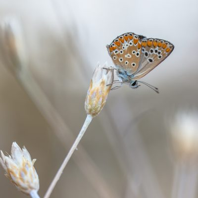 The Brown Argus (Aricia agestis) is a butterfly in the family Lycaenidae (Blues).